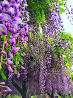 植物の紫色の花の写真・画像素材[1144400]