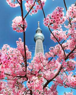 花,春,桜,東京,ピンク,スカイツリー,花見,河津桜