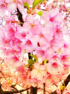 花,春,桜,東京,ピンク,花見,河津桜,錦糸公園