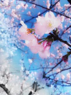 公園,花,春,桜,東京,ピンク,花見,河津桜