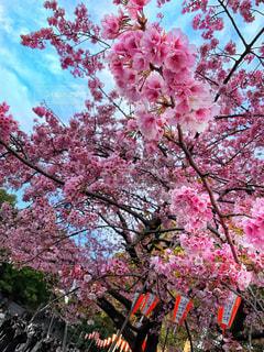 公園,花,桜,東京,ピンク,花見,上野,寒桜,上野恩賜公園