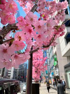 花,桜,東京,ピンク,花見,渋谷,河津桜,寒桜