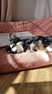 犬,チワワ,木漏れ日,うたた寝