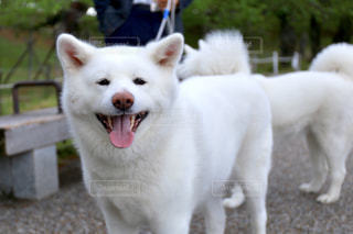 小さな白い犬の写真・画像素材[2280530]
