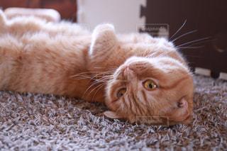上を向いて甘える猫の写真・画像素材[2293041]