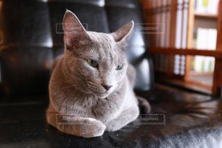 革製のソファーに座っている猫の写真・画像素材[2293050]