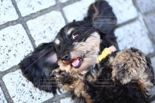 カメラ目線の犬の写真・画像素材[2327197]
