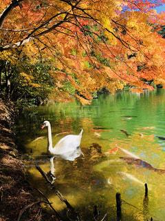 木々 に囲まれた水の体の横に白鳥 - No.845876