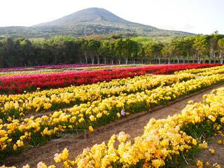 背景の山と赤と黄色の花の写真・画像素材[1446026]