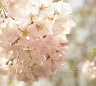 自然,風景,花,春,桜,ピンク,パステル,千葉県,Spring,cherryblossom,フォトジェニック