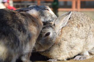 うさぎ,可愛い,ウサギ,ツーショット,アゴ乗せ