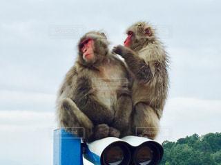 友だち,猿,仲間,毛づくろい,ツーショット