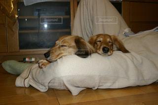 犬の写真・画像素材[474369]