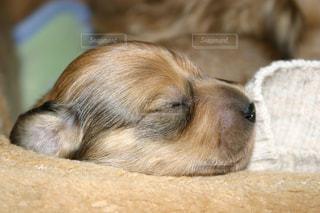 犬,寝顔,寝る,子犬,ダックス,お疲れ