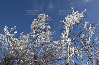 雪の木の写真・画像素材[1734457]