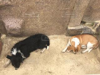 犬,動物,昼寝,ツーショット