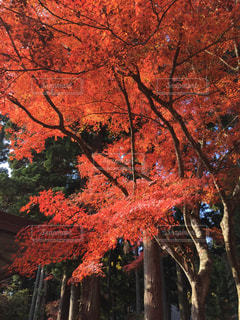 中尊寺の紅葉の写真・画像素材[868468]