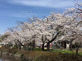 岩槻城址公園の桜の写真・画像素材[1987280]