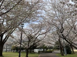 公園,花,春,桜,木,花見,樹木,お花見,イベント,さくら
