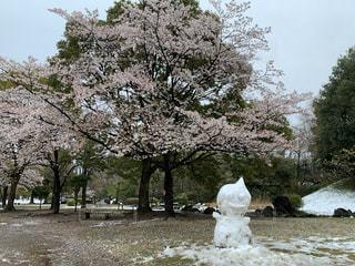 花,春,桜,木,雪,花見,樹木,お花見,イベント,雪だるま
