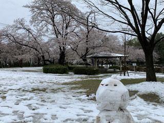 花,春,桜,木,雪,花見,景色,樹木,お花見,イベント,雪だるま