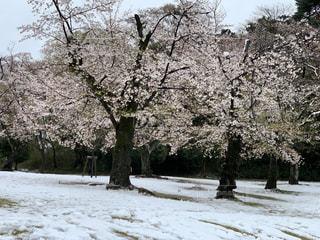 自然,春,桜,木,雪,花見,景色,樹木,お花見,イベント,さくら