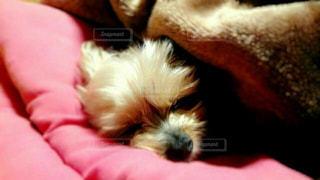 犬,ペット,ヨークシャーテリア,ヨーキー