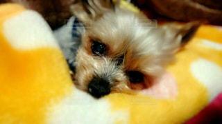犬,悲しい,ペット,ヨークシャーテリア,ヨーキー,涙