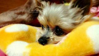 犬,悲しい,ペット,ヨークシャーテリア,ヨーキー,涙,泣き