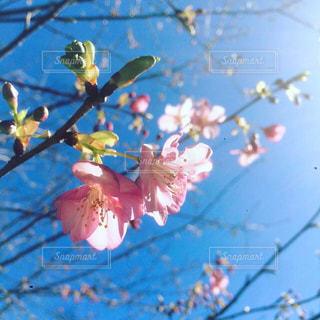風景,花,桜,入学式,卒業式