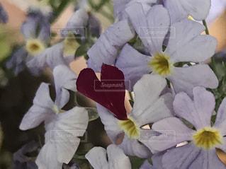 花,花びら,ハート,プリムラ,プリムラマラコイデス