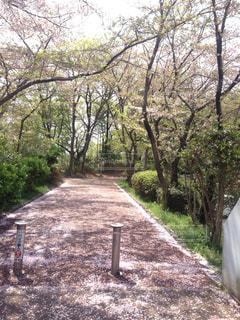 春,花びら,堺市,桜の道,泉北,泉ヶ丘,赤道