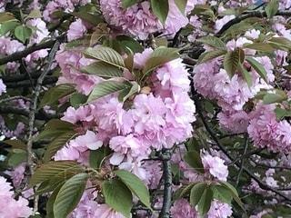 近くにバック グラウンドでフルダ Klager ライラック ガーデンの花のアップの写真・画像素材[1123104]