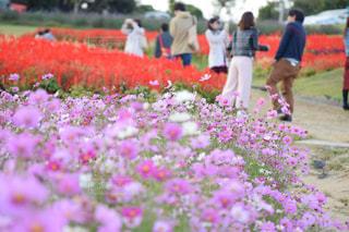 自然,風景,花,春,景色,淡路島,花さじき
