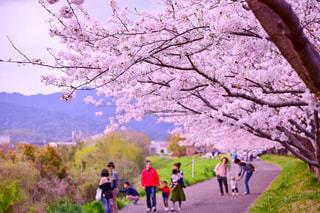 風景,花,春,桜,木,景色,お花見,道,徳島,藍住,桜づつみ公園