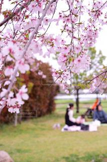 風景,花,春,桜,木,景色,お花見,ピクニック,道,徳島,藍住,桜づつみ公園