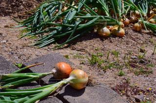 野菜の写真・画像素材[520187]