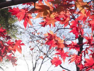 木にピンクの花のグループの写真・画像素材[1615253]