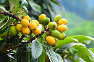 近くに果物の木からぶら下がってアップの写真・画像素材[1831859]