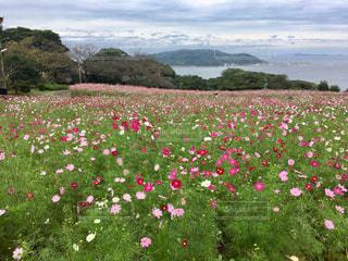 自然,公園,花,花畑,コスモス,島,旅行,秋桜