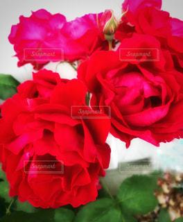 花の写真・画像素材[526202]