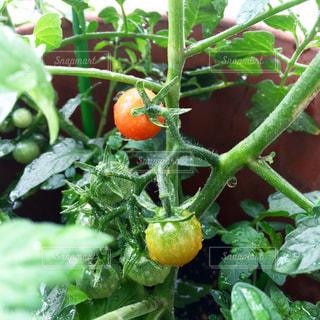 トマトの写真・画像素材[526374]