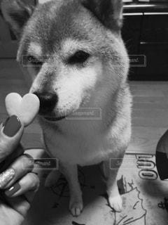 カメラを見て犬 - No.847662