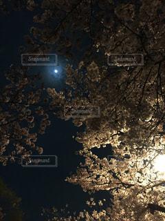 幻想的,夜桜