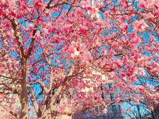 ピンクの写真・画像素材[367139]