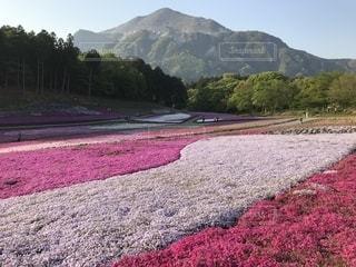 羊山公園の芝桜、そして武甲山。の写真・画像素材[1149458]
