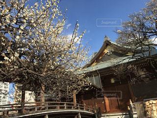 湯島天神の梅。の写真・画像素材[1157170]