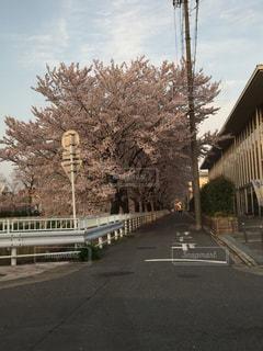 花,桜,ピンク,桜並木,雨上がり,黒川