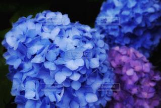 雨,あじさい,紫陽花,雨上がり,梅雨