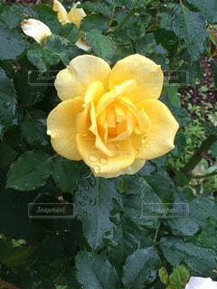花,黄色,バラ